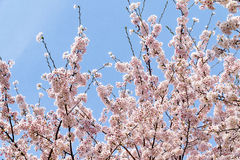 Cherry Blooming in Zuid-Korea tijdens lentetijd Stock Foto's