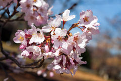 Cherry Blooms Fotografia Stock