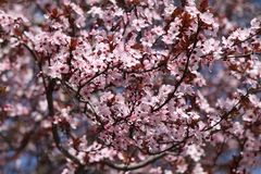 Cherry Blooms Stockfotos