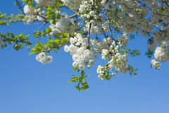 Free Cherry Blooms Royalty Free Stock Image - 9030156