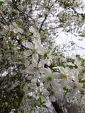 Cherry Blooms imagenes de archivo