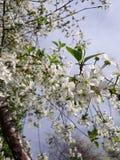 Cherry Blooms imagen de archivo libre de regalías