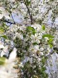 Cherry Blooms imágenes de archivo libres de regalías