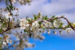 Cherry Blooms Stockfotos