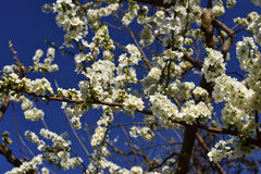Cherry blooms blue sky background Stock Photography