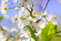 Cherry blooms in the garden in the spring Stock Photo