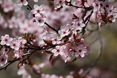 Cherry blooms Stock Images
