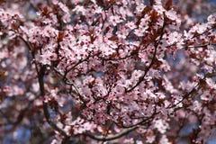 Cherry blooms Stock Photos