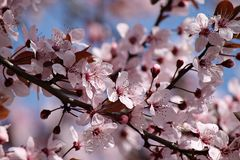 Cherry blooms Stock Photography