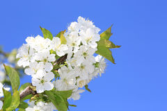 Cherry bloooming twig on blue sky background Stock Photo