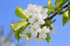 Cherry bloooming twig Royalty Free Stock Image