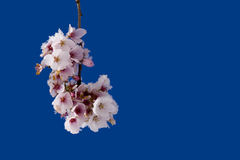 Cherry bloosoms. A branch of a blossoming cherry tree with some snow against the blue background Royalty Free Stock Photography