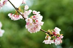 Cherry bloosoms in full bloom/March landscape in japan Stock Photography