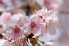 Cherry bloosoms in full bloom/March landscape in japan Stock Photo