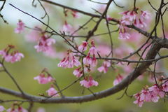 Cherry bloosoms in full bloom/March landscape in japan Stock Images