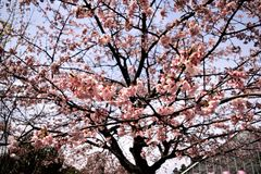 Cherry bloosoms in full bloom/March landscape in japan Royalty Free Stock Image