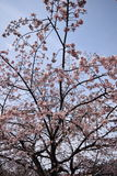 Cherry bloosoms in full bloom/March landscape in japan Royalty Free Stock Images