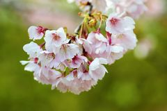 Cherry bloosoms in full bloom/March landscape in japan Stock Photos