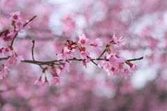 Cherry bloosoms in full bloom/March landscape in japan Royalty Free Stock Photography