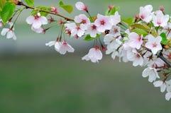 cherry blosom Obraz Royalty Free
