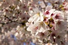 Cherry Blosom i Utah huvudstad Royaltyfria Bilder
