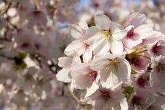 Cherry Blosom nel capitale dello Stato dell'Utah Fotografia Stock Libera da Diritti