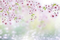 Cherry blosoms. This is a spring scenery with cherry blosoms and bookeh Stock Image