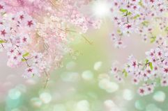 Cherry blosoms. This is a spring scenery with cherry blosoms and bookeh Royalty Free Stock Photography