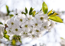 Cherry Blossmom in spring time Royalty Free Stock Images