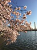 Cherry Blossom fotografie stock