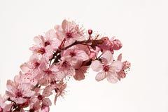 Free Cherry Blossom Stock Image - 1116461