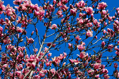Cherry Blossom. In Boston Public Garden Stock Photography