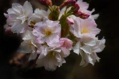 Cherry Blossom Royalty-vrije Stock Foto