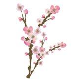 Cherry blossom. Illustration of cherry blossom flowers Stock Photography