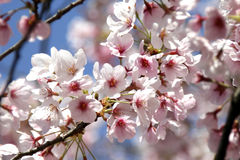 Cherry blossom. In japan on spring Royalty Free Stock Photo