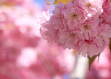 Cherry blossom. Lovely pink cherry blossoms in a sunny day Royalty Free Stock Images