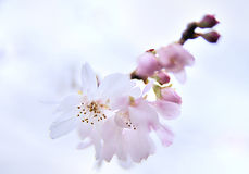 Cherry blossom. Closeup image of cherry blossom stock photo