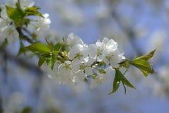 Cherry blossom. Over blue sky Royalty Free Stock Photo