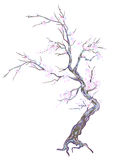 Cherry blossom. Old cherry tree in bloom. Drawn with Illustrator brushes Royalty Free Stock Photos