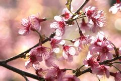 Free Cherry Blossom Stock Image - 13340521