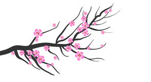 Cherry Blossom. Pink cherry blossom isolated against white background. Also in vector format Stock Photo