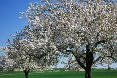 Cherry Blossom. On Green Field stock images