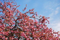 Cherry Blossom. A bright, pink cherry blossom bursts into bloom in the spring royalty free stock images