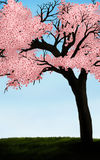 Cherry Blossom Royalty Free Stock Photos