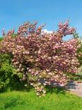Cherry blossom. Japanese cherry tree in blossom stock photos