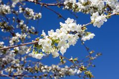 Cherry blossom. Stock Image