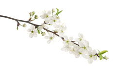 Cherry blossom. Cherry flowers and buds isolated on white Royalty Free Stock Images