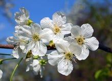 Cherry blossom. Beautiful cherry tree with fresh balmy blossom Royalty Free Stock Photography