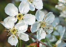 Cherry blossom. Beautiful cherry tree with fresh balmy blossom Stock Photo