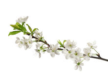 Cherry blossom. Cherry flowers and buds isolated on white Stock Photos